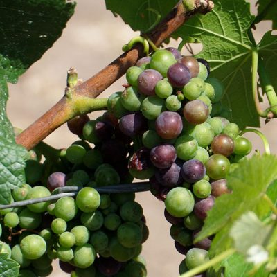 Veraison of the pinot noir grapes, Napa